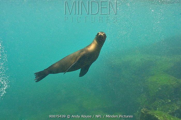 Galapagos sealion (Zalophus wollebaeki) swimming,  -  Andy Rouse/ npl