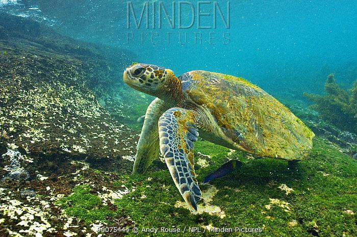 Pacific Green Sea Turtle (Chelonia mydas agassizi) underwater, Galapagos, Ecuador  -  Andy Rouse/ npl