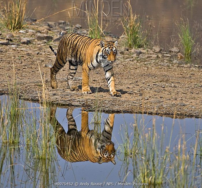 Bengal Tiger (Panthera tigris tigris) walking beside lake, with reflection, Ranthambore National Park, Rajasthan, India  -  Andy Rouse/ npl