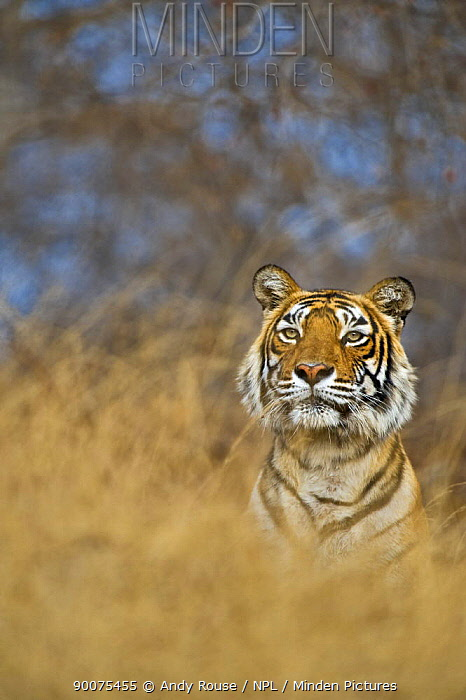Bengal Tiger (Panthera tigris tigris) female, Machali, in forest, Ranthambore National Park, Rajasthan, India  -  Andy Rouse/ npl