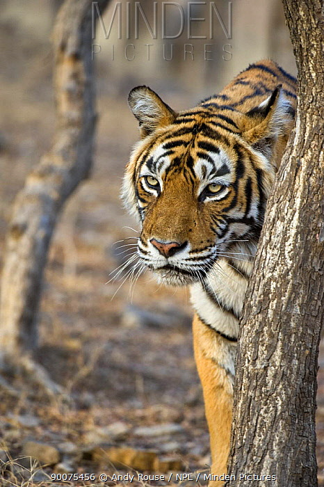 Bengal Tiger (Panthera tigris tigris) female walking through forest, Ranthambore National Park, Rajasthan, India  -  Andy Rouse/ npl