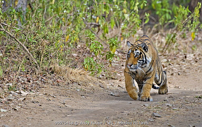 Bengal Tiger (Panthera tigris tigris) female crouching down to stalk a deer, Ranthambore National Park, Rajasthan, India  -  Andy Rouse/ npl