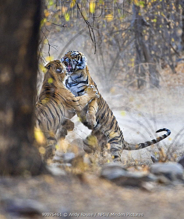 Bengal Tiger (Panthera tigris tigris) female fighting with 18 months cub, Ranthambore National Park, Rajasthan, India  -  Andy Rouse/ npl