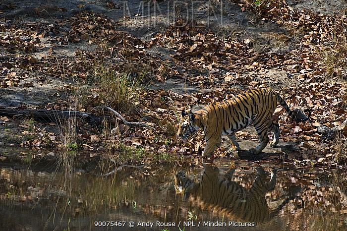Bengal Tiger (Panthera tigris tigris) entering lake to cool off, Bandhavgarh National Park, Madhya Pradesh, India  -  Andy Rouse/ npl