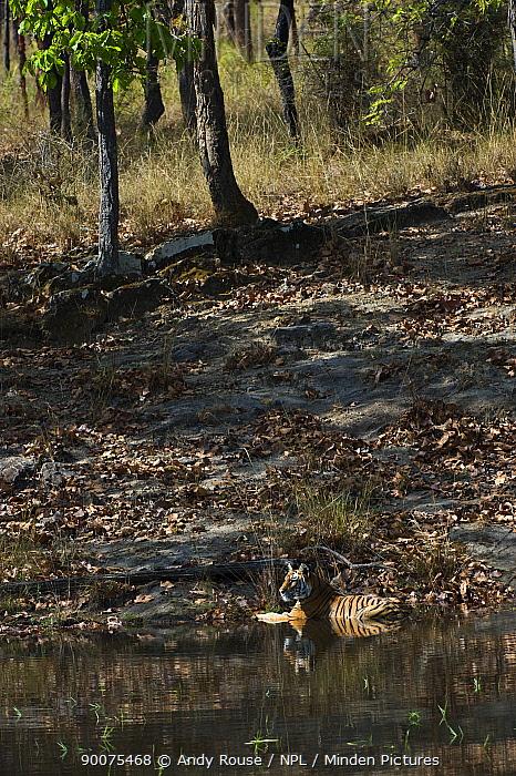 Bengal Tiger (Panthera tigris tigris) cooling off in lake, Bandhavgarh National Park, Madhya Pradesh, India  -  Andy Rouse/ npl