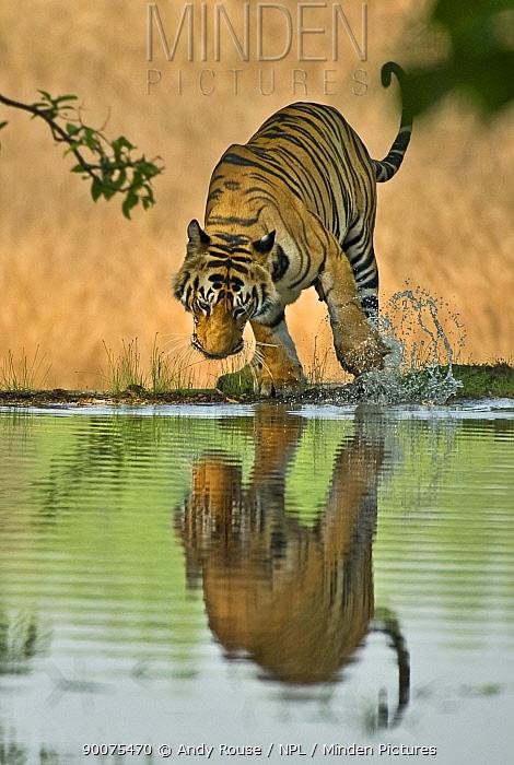 Bengal Tiger (Panthera tigris tigris) male playing with water, Bandhavgarh National Park, Madhya Pradesh, India  -  Andy Rouse/ npl