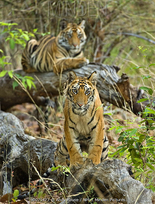 Bengal Tiger (Panthera tigris tigris) cubs waiting for mother to return, Bandhavgarh National Park, Madhya Pradesh, India  -  Andy Rouse/ npl