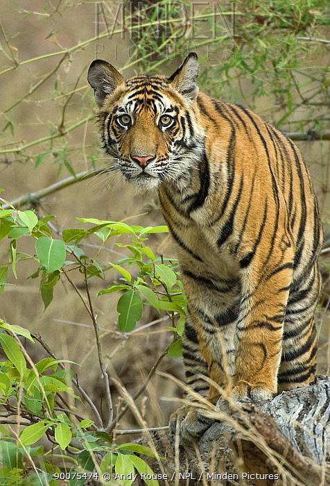 Bengal Tiger (Panthera tigris tigris) cub waiting for mother to return, Bandhavgarh National Park, Madhya Pradesh, India  -  Andy Rouse/ npl