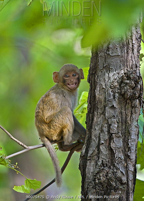 Rhesus Macaque (Macaca mulatta) youngster in tree, India  -  Andy Rouse/ npl