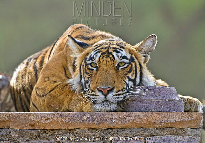 Bengal Tiger (Panthera tigris tigris) female resting on wall of ruined temple, Ranthambore National Park, Rajasthan, India  -  Andy Rouse/ npl