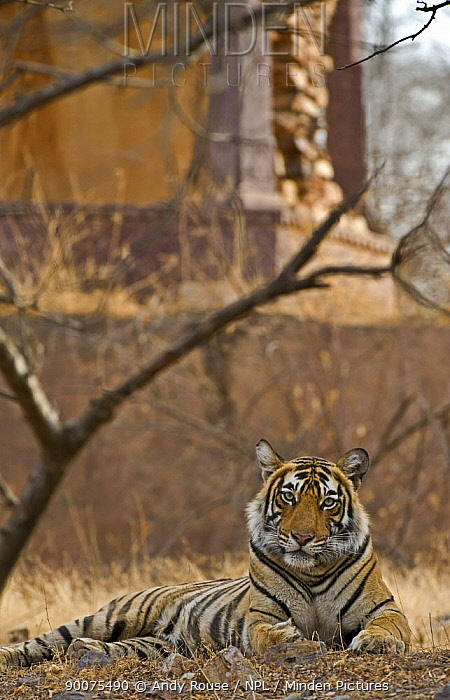 Bengal Tiger (Panthera tigris tigris) female resting near ruined temple, Ranthambore National Park, Rajasthan, India  -  Andy Rouse/ npl