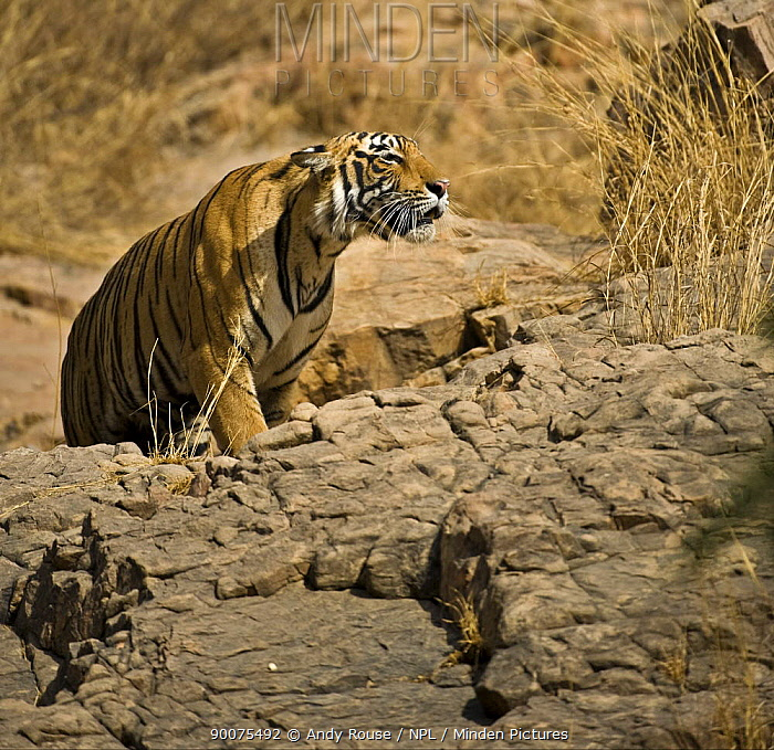Bengal Tiger (Panthera tigris tigris) female showing aggression, Ranthambore National Park, Rajasthan, India  -  Andy Rouse/ npl