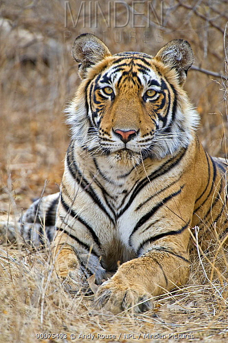 Bengal Tiger (Panthera tigris tigris) female resting, Ranthambore National Park, Rajasthan, India  -  Andy Rouse/ npl