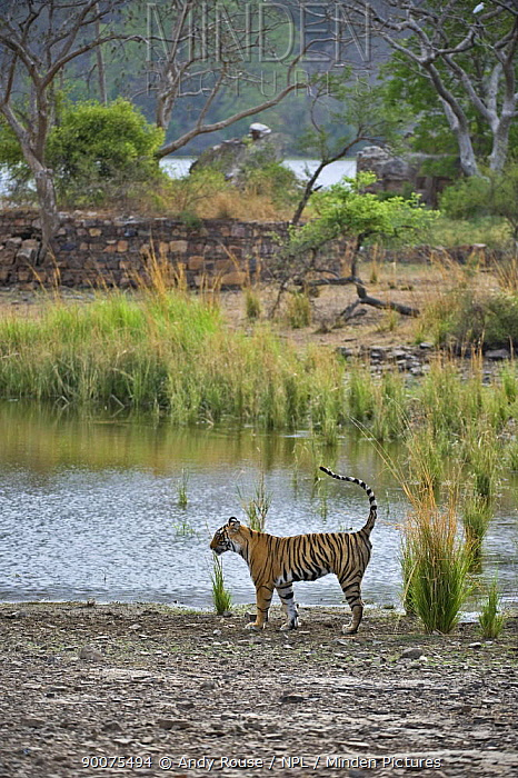 Bengal Tiger (Panthera tigris tigris) female scent marking by lake in the rain, Ranthambore National Park, Rajasthan, India  -  Andy Rouse/ npl