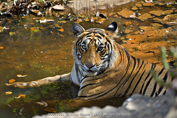 Bengal Tiger (Panthera tigris tigris) resting in water to cool off, Ranthambore National Park, Rajasthan, India  -  Andy Rouse/ npl