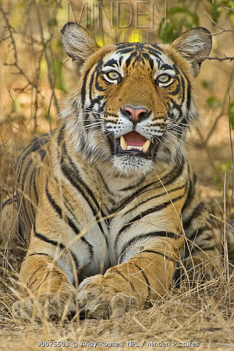 Bengal Tiger (Panthera tigris tigris) female resting in undergrowth, Ranthambore National Park, Rajasthan, India  -  Andy Rouse/ npl