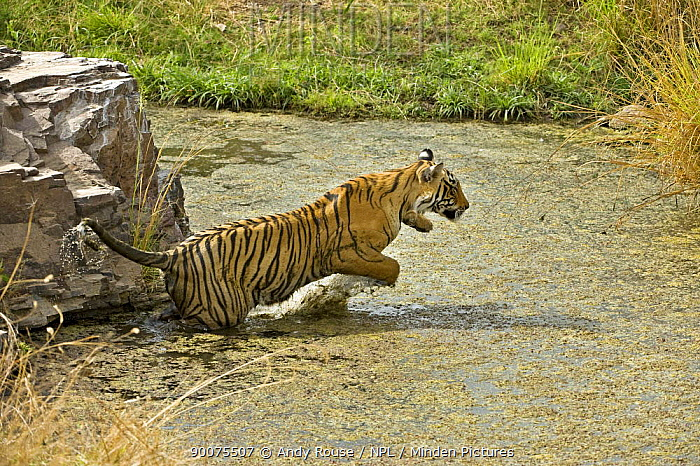 Bengal Tiger (Panthera tigris tigris) female leaping through lake, Ranthambore National Park, Rajasthan, India  -  Andy Rouse/ npl