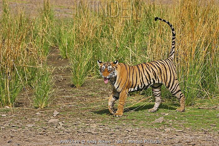 Bengal Tiger (Panthera tigris tigris) showing flehmen response to scent mark, Ranthambore National Park, Rajasthan, India  -  Andy Rouse/ npl