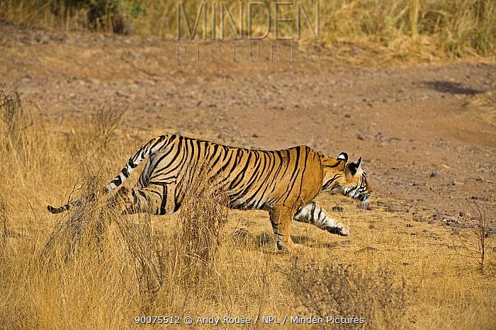 Bengal Tiger (Panthera tigris tigris) female charging at prey, Ranthambore National Park, Rajasthan, India  -  Andy Rouse/ npl