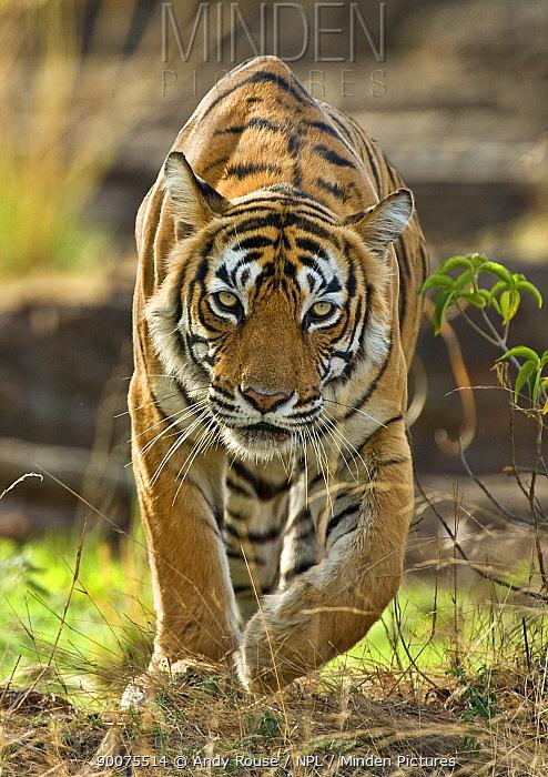 Bengal Tiger (Panthera tigris tigris) stalking prey, Ranthambore National Park, Rajasthan, India  -  Andy Rouse/ npl