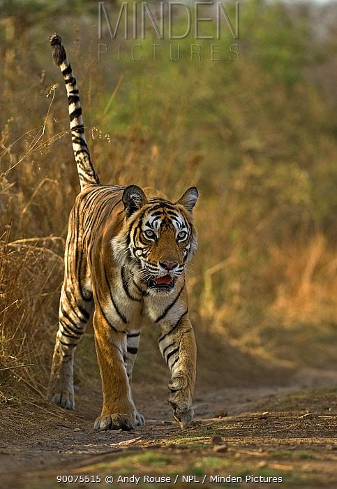 Bengal Tiger (Panthera tigris tigris) female, Ranthambore National Park, Rajasthan, India  -  Andy Rouse/ npl