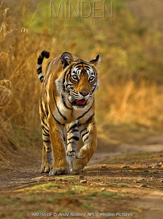 Bengal Tiger (Panthera tigris tigris) female, Machali, Ranthambore National Park, Rajasthan, India  -  Andy Rouse/ npl