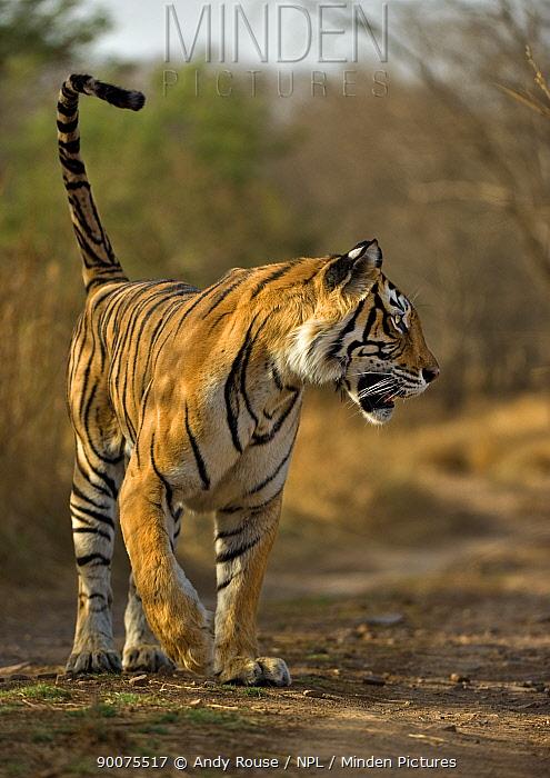 Bengal Tiger (Panthera tigris tigris) female hunting, Ranthambore National Park, Rajasthan, India  -  Andy Rouse/ npl