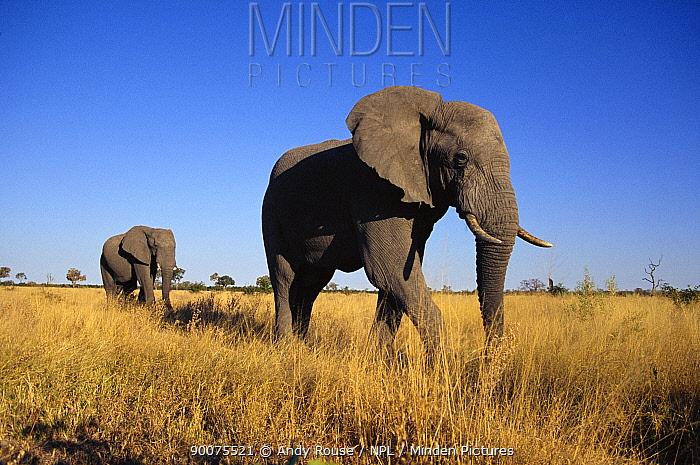 African Elephant (Loxodonta africana) two bulls walking to water, Savute, Botswana  -  Andy Rouse/ npl