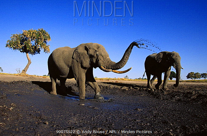 African Elephant (Loxodonta africana) two bulls at mud wallow, Savute, Botswana  -  Andy Rouse/ npl