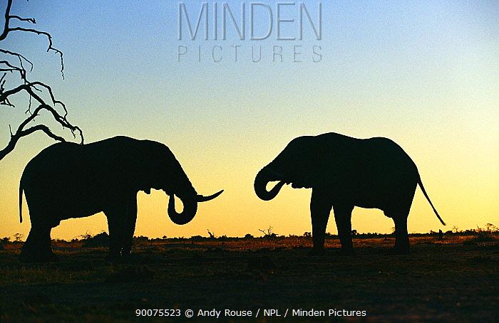 African Elephant (Loxodonta africana) bulls drinking at sunset, Savute, Botswana  -  Andy Rouse/ npl