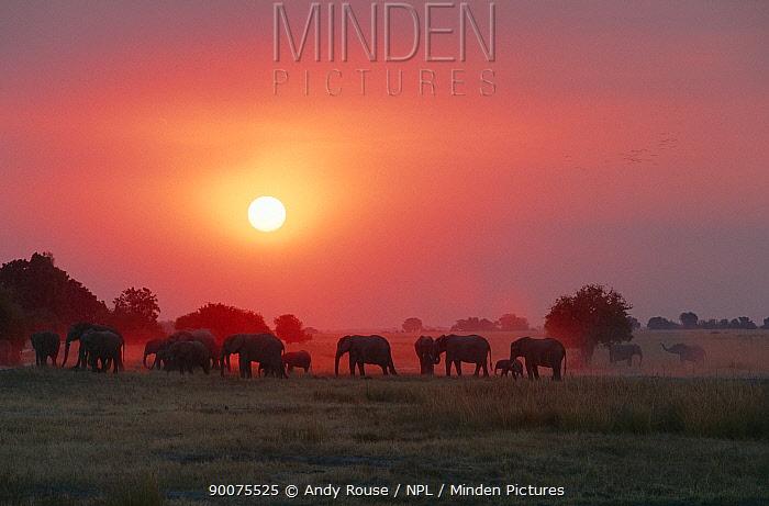 African Elephant (Loxodonta africana) breeding herd at sunset, Chobe National Park, Botswana  -  Andy Rouse/ npl
