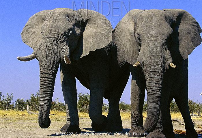 African Elephant (Loxodonta africana) two bulls, Savute, Botswana  -  Andy Rouse/ npl