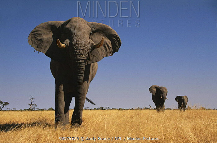 African Elephant (Loxodonta africana) bulls walking to water, front one showing aggression, Savute, Botswana  -  Andy Rouse/ npl