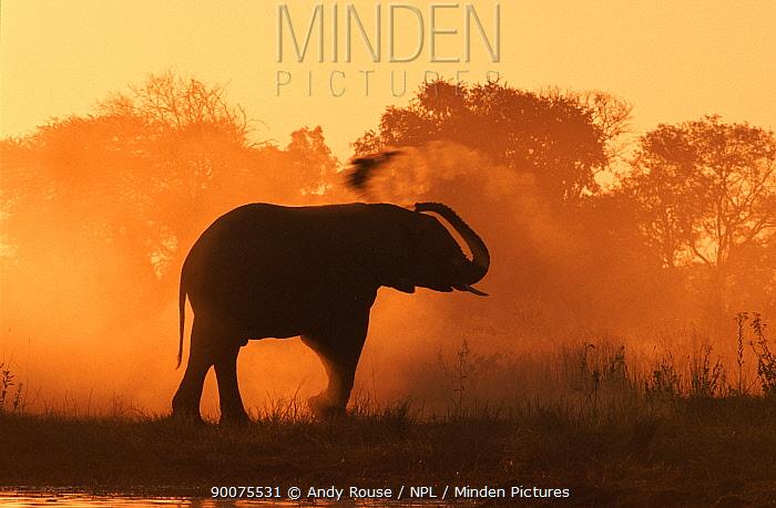 African Elephant (Loxodonta africana) silhouette dust bathing at sunset, Khwai River, Botswana  -  Andy Rouse/ npl