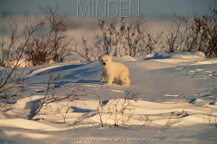 Polar Bear (Ursus maritimus) cub on tundra in snow, Canadian Arctic  -  Andy Rouse/ npl