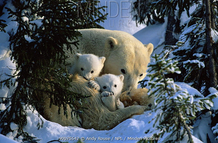 Polar Bear (Ursus maritimus) mother with cubs in snow hollow, Canadian Arctic  -  Andy Rouse/ npl