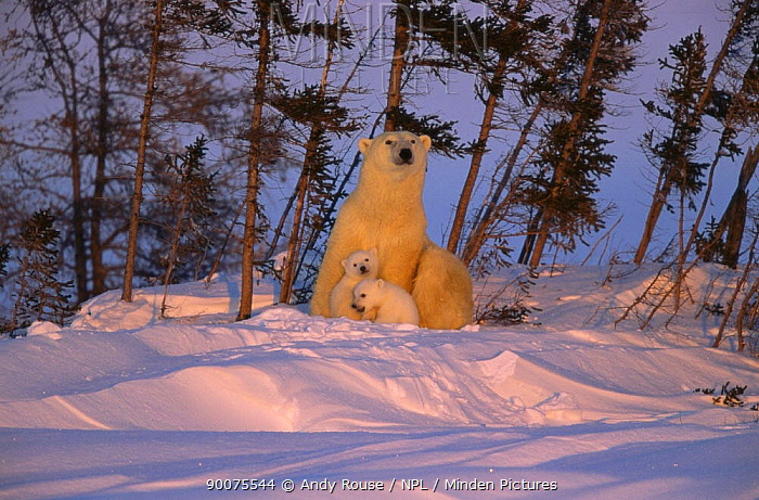 Polar Bear (Ursus maritimus) mother with cubs at sunset, Churchill, Canada  -  Andy Rouse/ npl