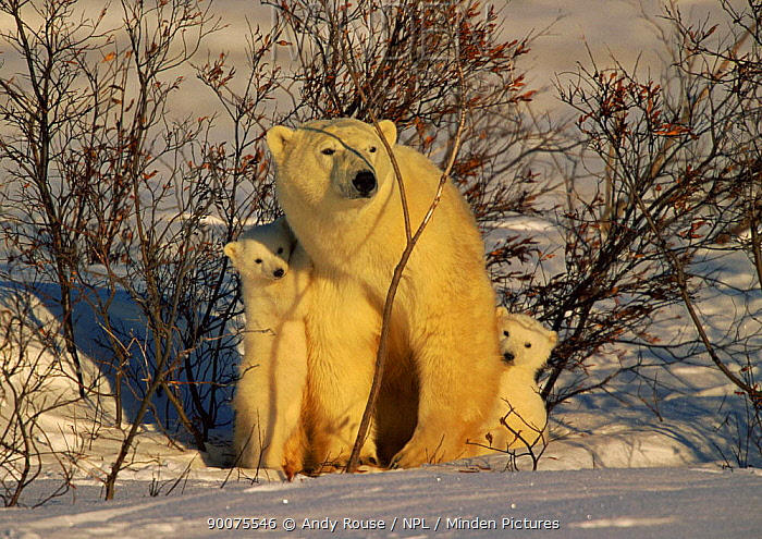 Polar Bear (Ursus maritimus) mother with cubs looking nervously at distant male bear, Canada  -  Andy Rouse/ npl