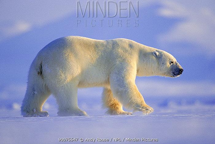 Polar Bear (Ursus maritimus) large male hunting on sea ice, Svalbard, Norway  -  Andy Rouse/ npl
