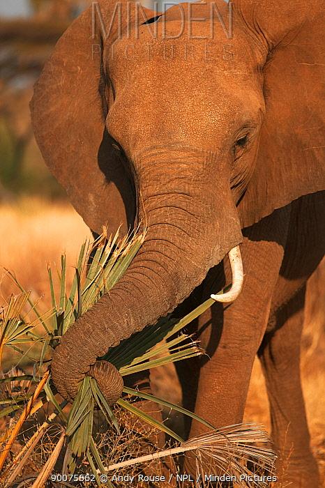 African Elephant (Loxodonta africana) feeding on palm leaves, Samburu, Kenya  -  Andy Rouse/ npl