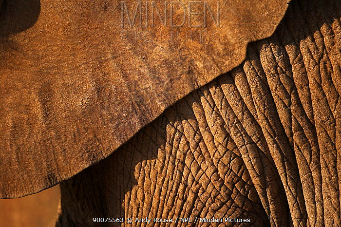 African Elephant (Loxodonta africana) close up of hide skin of ear and body in late evening sun, Samburu, Kenya  -  Andy Rouse/ npl