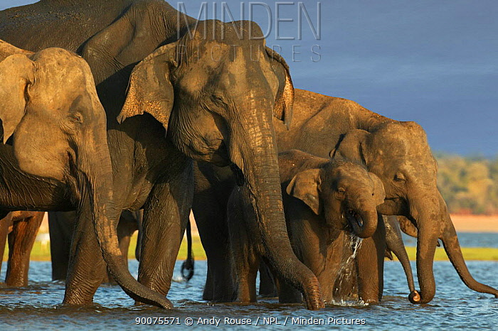 Asian Elephant (Elephas maximus) herd drinking at sunset, Minneriya National Park, Sri Lanka  -  Andy Rouse/ npl