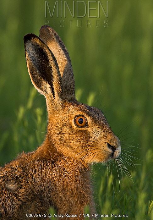 European Hare (Lepus europaeus) portrait in evening light, United Kingdom  -  Andy Rouse/ npl