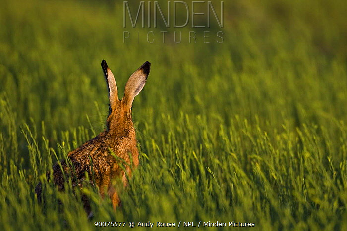 European Hare (Lepus europaeus) rear view in crop field in evening, United Kingdom  -  Andy Rouse/ npl