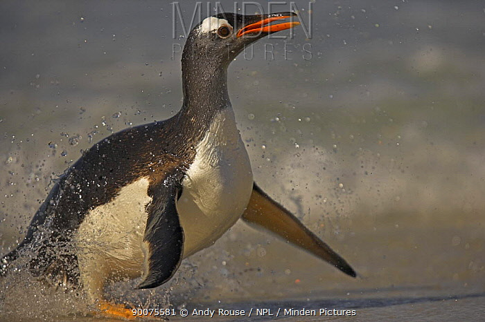 Gentoo Penguin (Pygoscelis papua) landing on beach, Falkland Islands  -  Andy Rouse/ npl