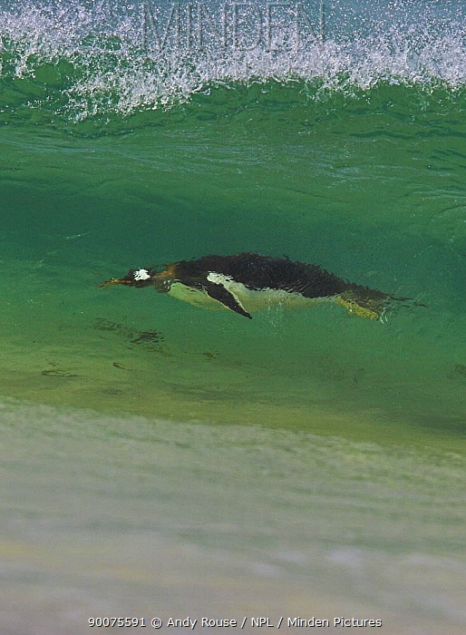 Gentoo Penguin (Pygoscelis papua) surfing inside a wave, Falkland Islands  -  Andy Rouse/ npl