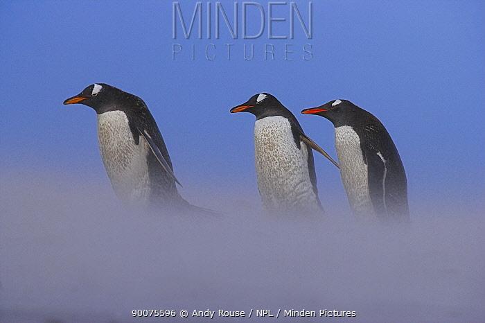 Gentoo Penguin (Pygoscelis papua) in sandstorm on beach, Falkland Islands  -  Andy Rouse/ npl