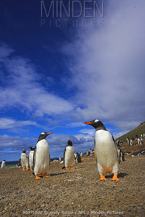 Gentoo Penguin (Pygoscelis papua) on beach, Falkland Islands  -  Andy Rouse/ npl