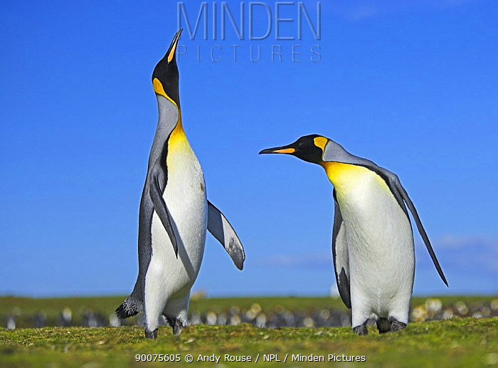 King Penguin (Aptenodytes patagonicus) males displaying in colony, Falkland Islands  -  Andy Rouse/ npl
