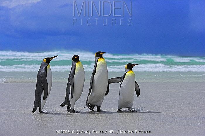 King Penguin (Aptenodytes patagonicus) walking along beach, Falkland Islands  -  Andy Rouse/ npl